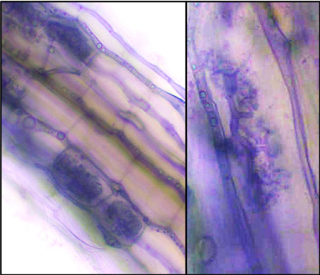 A purple-dyed microscopic image of plant roots.