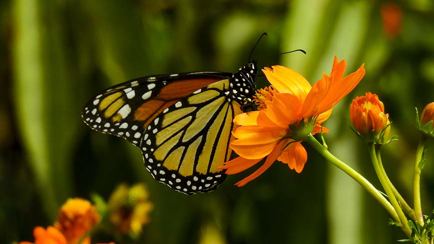 butterfly on orange cosmos