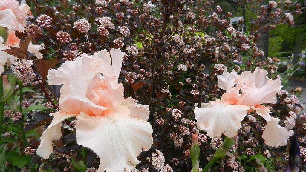 Pink-colored iris