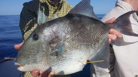 An oval-shaped, silvery fish