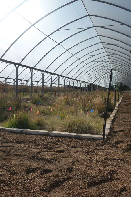 Raised beds of grasses underneath a clear plastic awning.