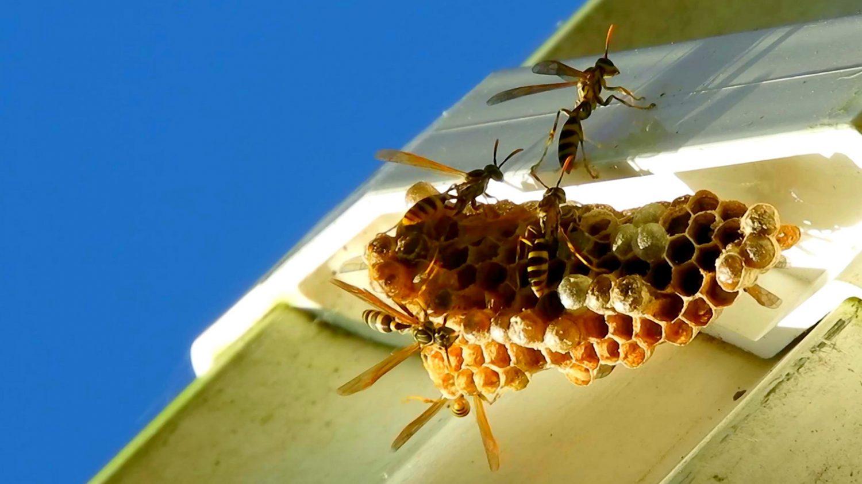 Wasps around a wasp nest
