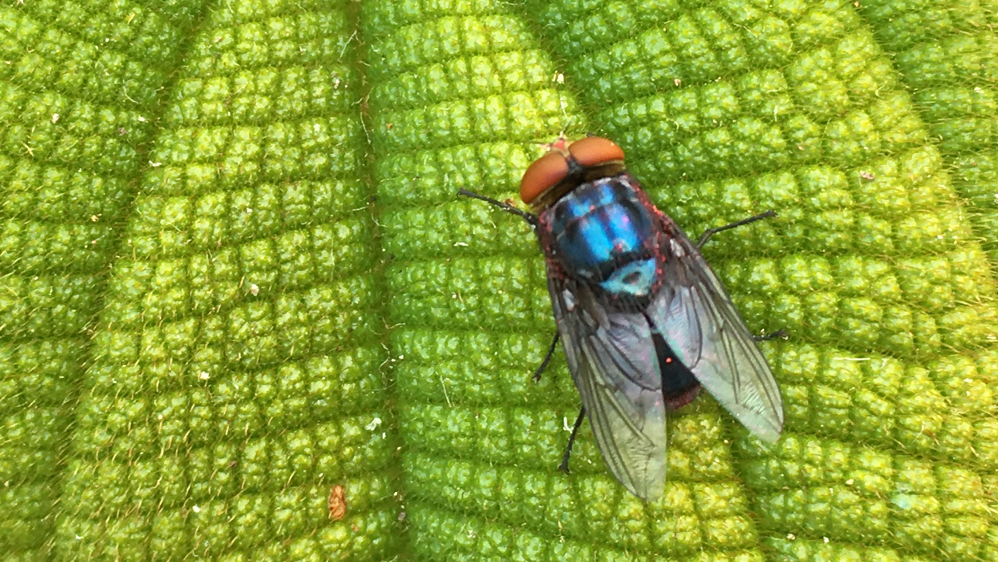 Fly with orange eyes and a light dusting of pink powder over its body