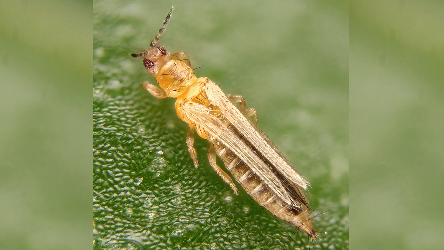 An insect with fringed wings on a plant