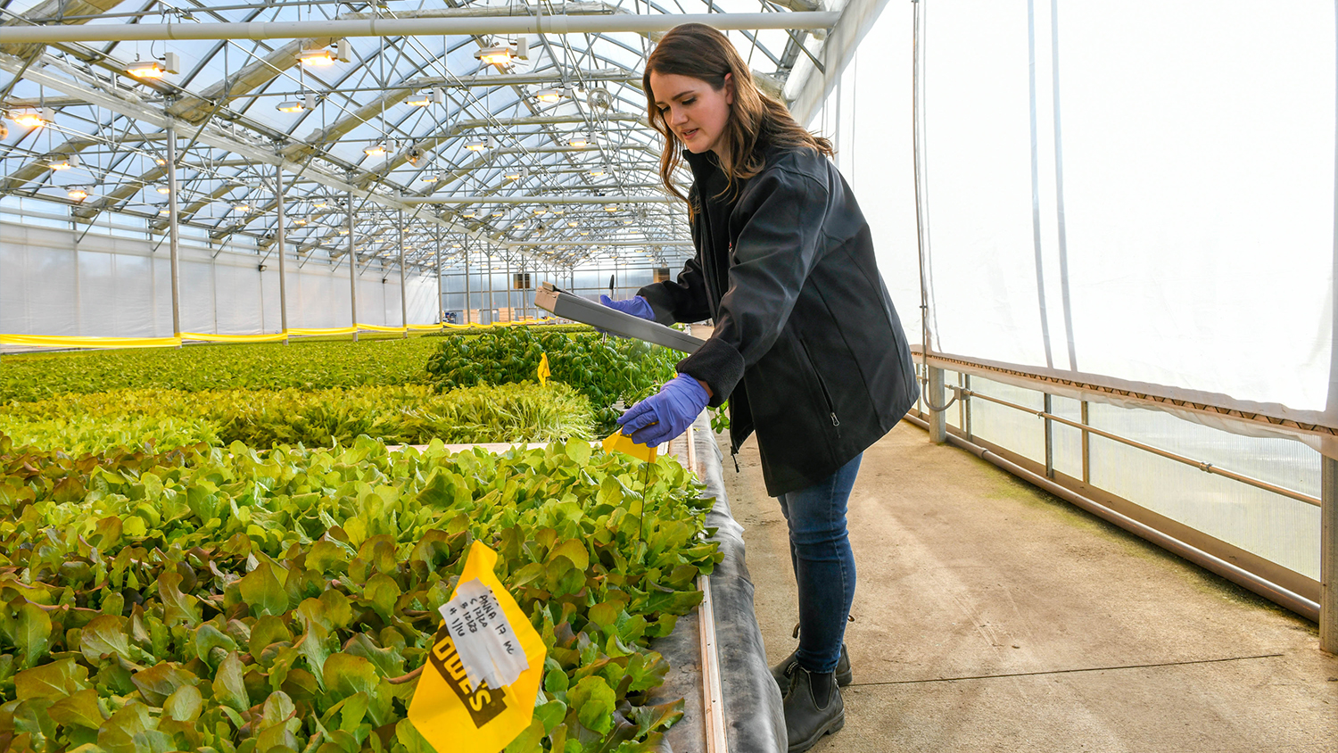 A young woman in a greenhouse examining lettuce