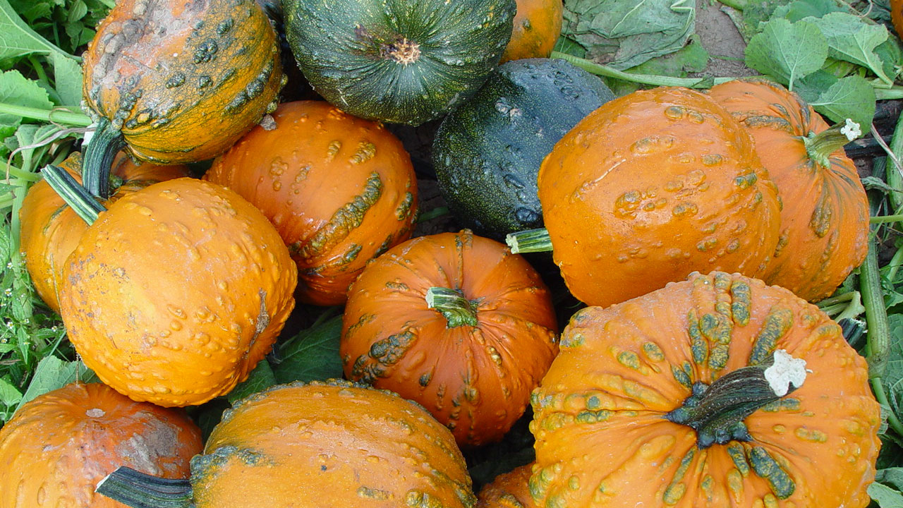 a pile of orange and green pumpkins covered in warts