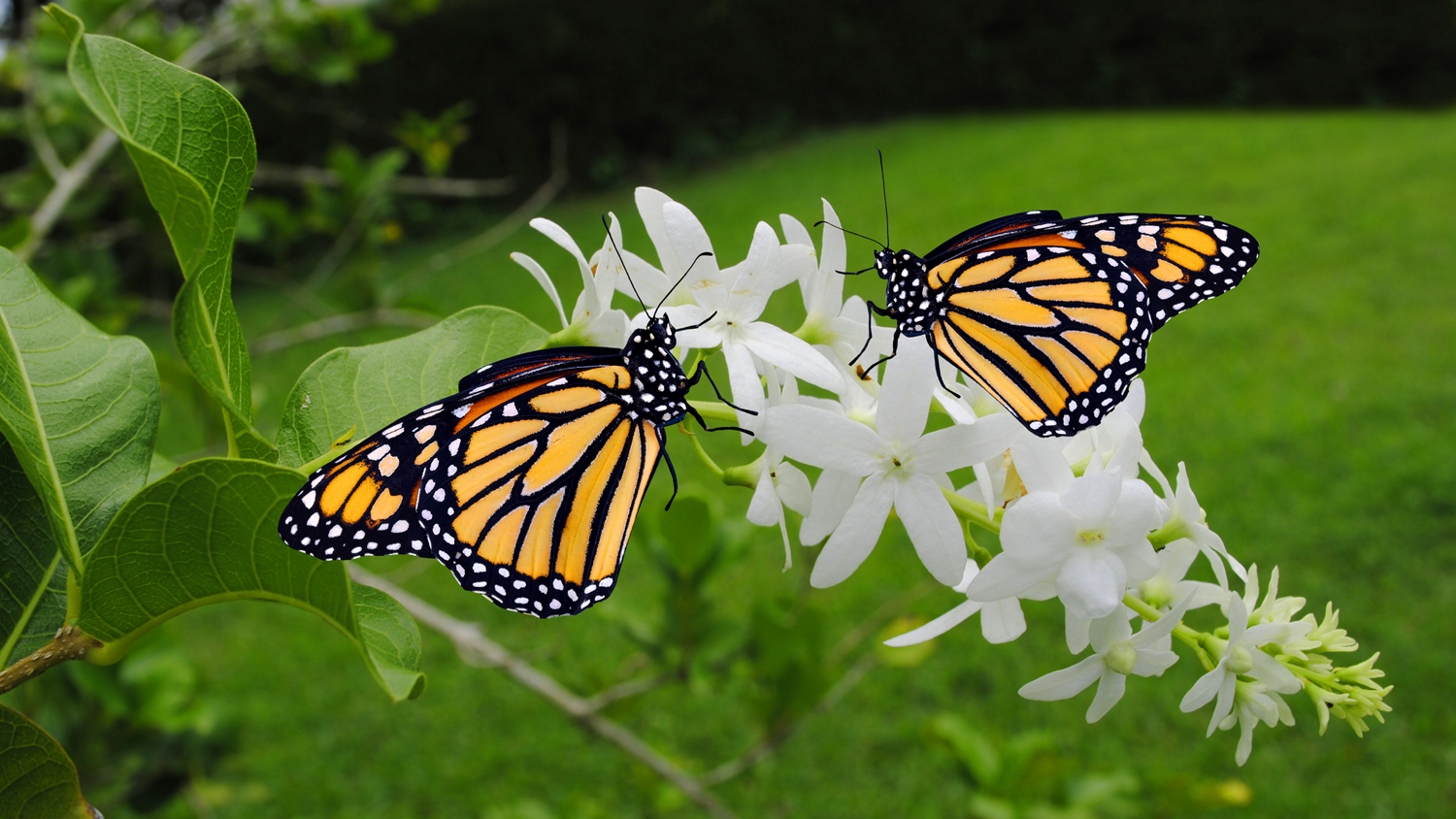 Two butterflies on flowers