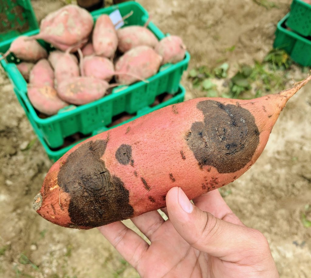 Sweetpotato with black rot lesions