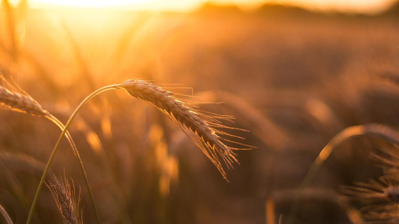 Wheat field in the sunshine