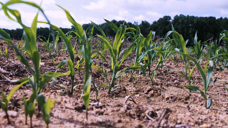 small corn plants in a field