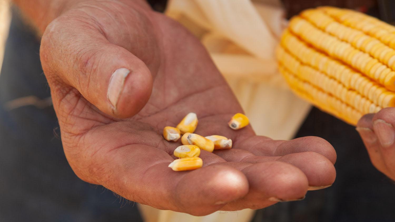 Close up image of corn