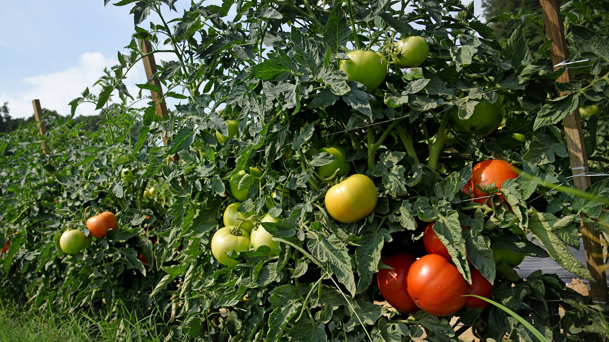 ripe and unripe tomatoes on the vine