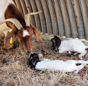 A goat family at the Small Ruminant Unit.