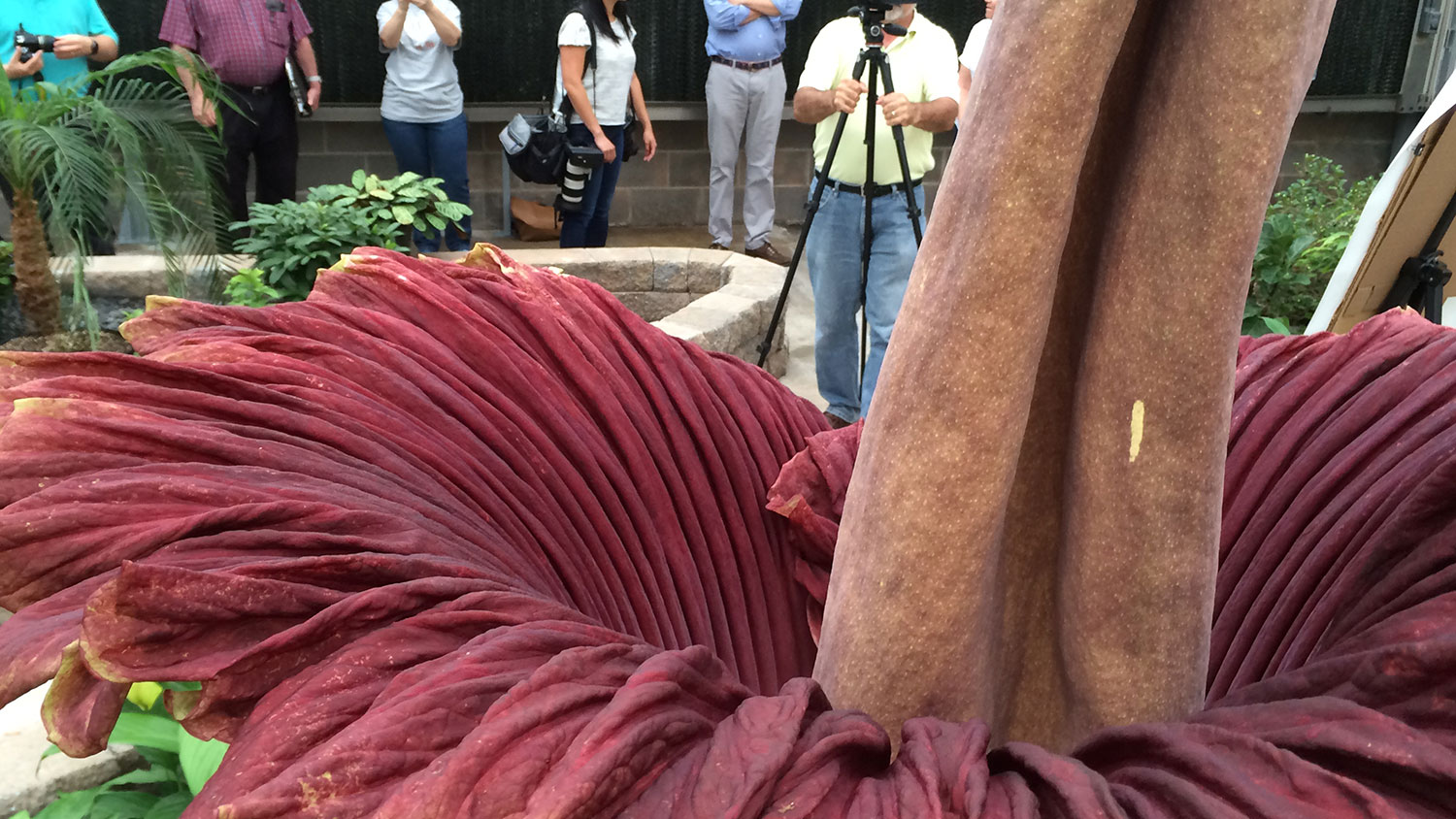 NCState corpse flower