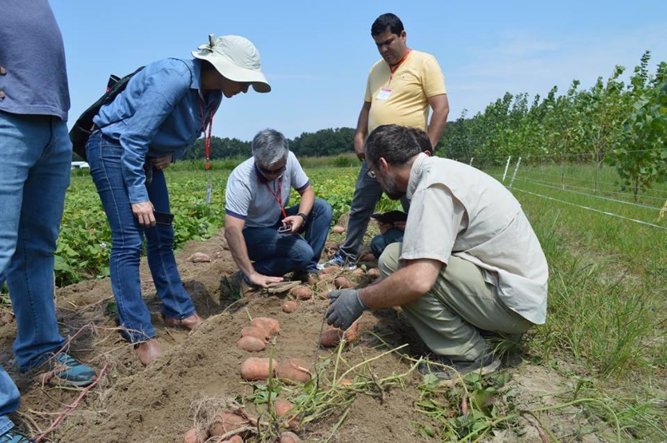 International visitors examining sweet potatoes