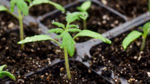 close up photo of tomato seedling