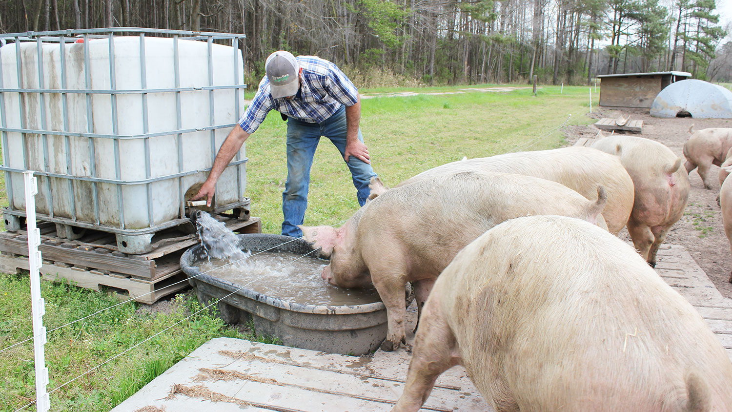 farmer giving pigs water
