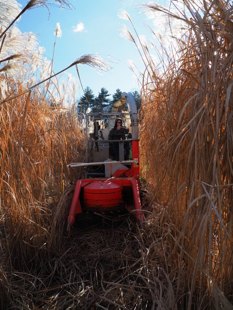 Man giving a thumbs-up as he drives through a miscanthus field.