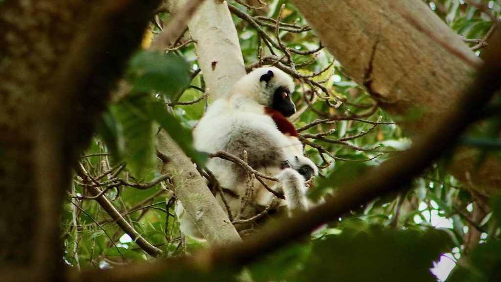 Photograph of Coquerel's sifaka holding a young one in a tree