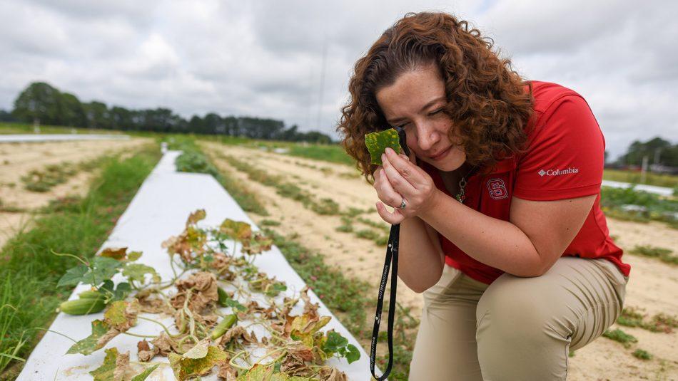 Scientist examines a diseased cucumber plot