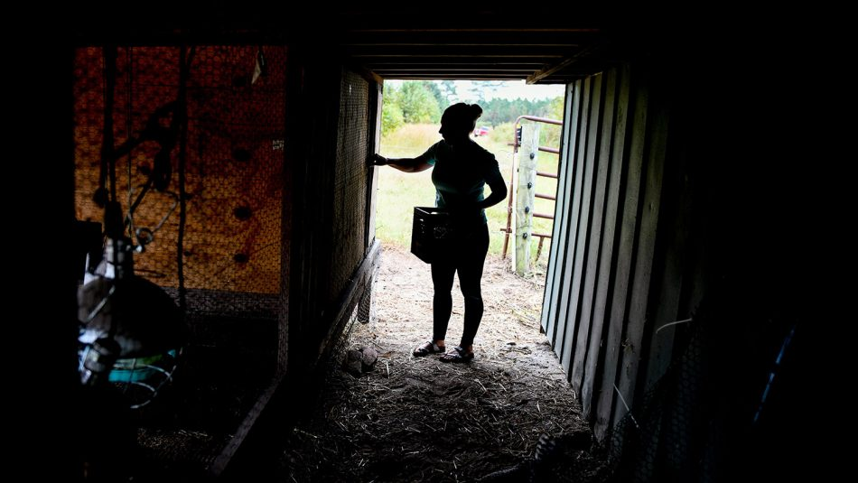 Silhouette of woman collecting eggs in a hen house.