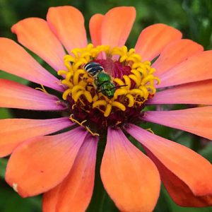 A green shiny bee on a bright orange flower.
