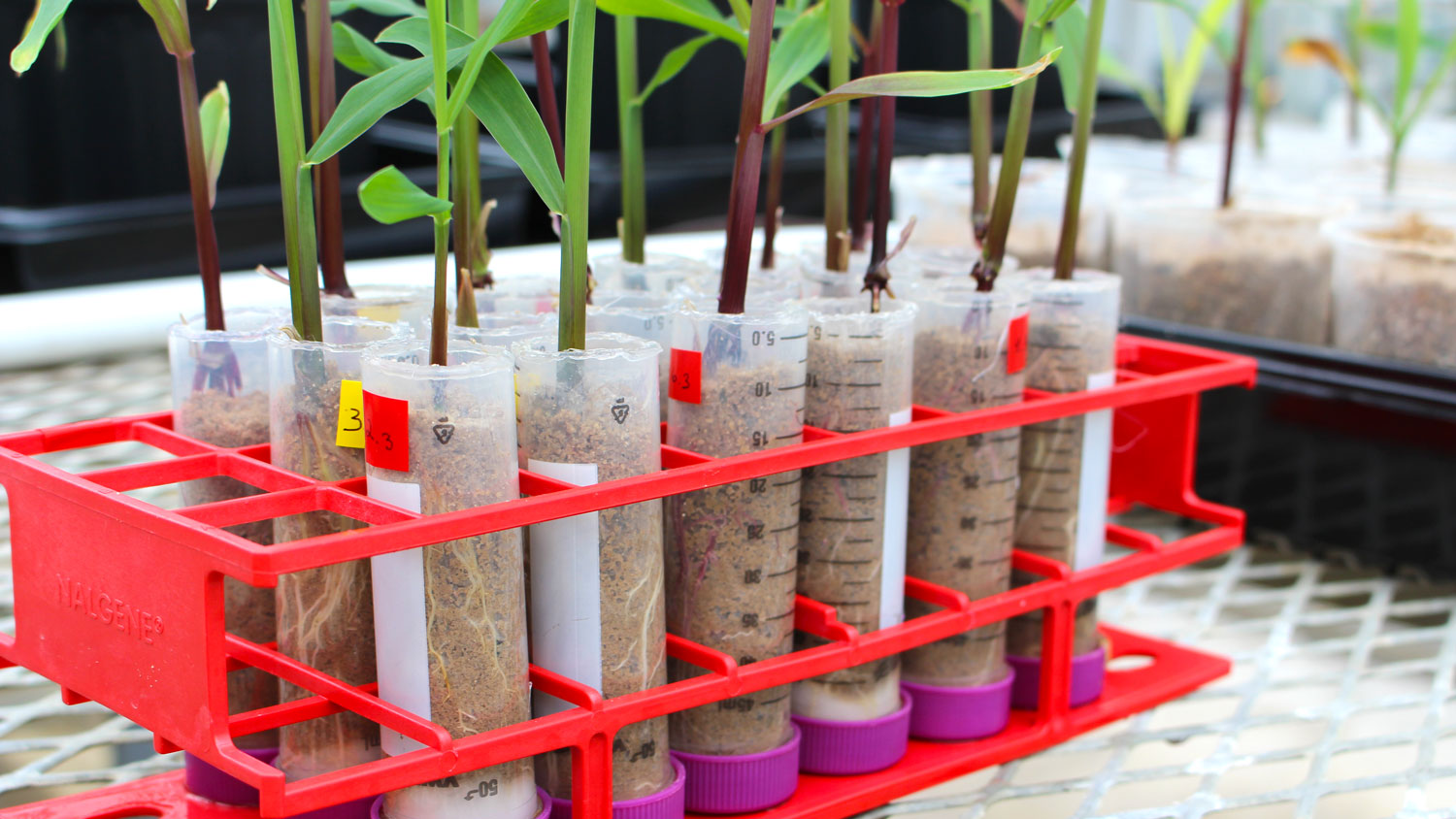 Plants in test tubes in a greenhouse