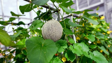 Cantaloupe in Phytotron's BSL-3 greenhouse.