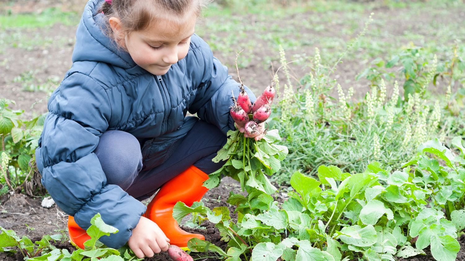 A young girl picking radishes from a garden