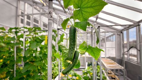 A cucumber hanging in the Phytotron's BSL-3 greenhouse.