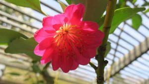 Rhodoleia henryi 'Scarlet Bells'