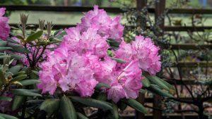 Rhododendron 'Brandi Michele Raley'