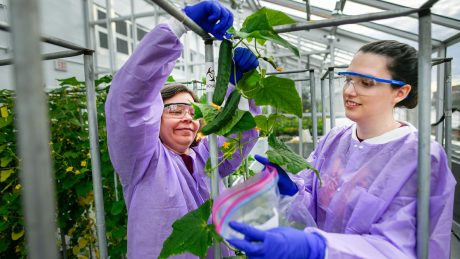 Kellie Burris and a research technician collect a sample cucumber from the Phytotron's BSL-3 greenhouse.