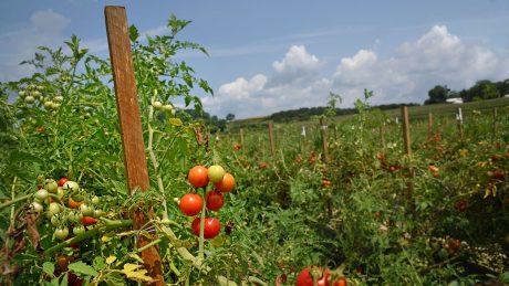 Tomato field in western North Carolina.