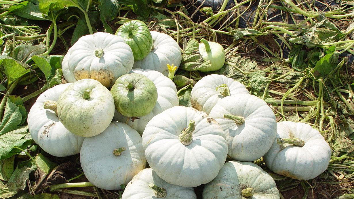 a pile of Silver Moon Pumpkins, or flat stackable pumpkins