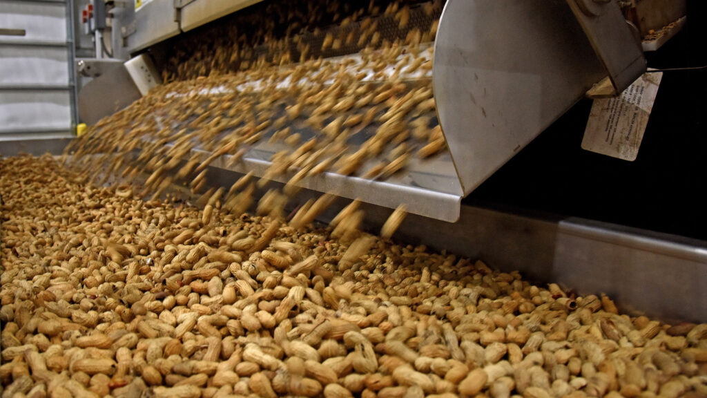 Sorted peanuts fall onto a conveyor belt in a Hampton Farms packing facility in Severn.